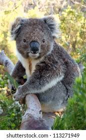 Close up of koala while is keeping a eucalyptus leaf