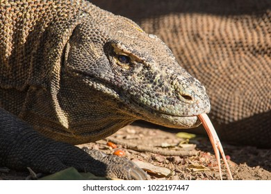 Close up of Komodo Dragon showing forked tongues