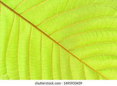 close up of Kratom leaf (Mitragyna speciosa) Mitragynine. Drugs and Narcotics.Kratom is Thai herbal which encourage health.