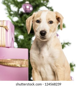 Close up of a Labrador in front of Christmas decorations against white background