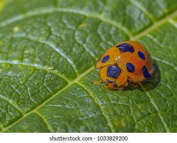 Close up Ladybird, Lady beetle,  Ladybug beetle colorful whit yellow orange and red color with black spot on the wing