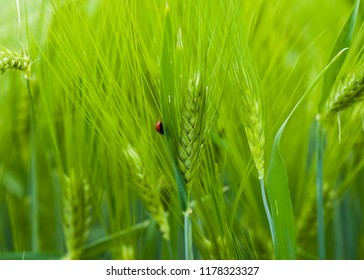 Close up of ladybird on blue wheat in farm field.