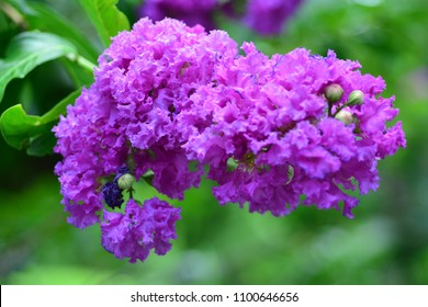 Close up Lagerstroemia sp. or Purple Crape myrtle or Crepe myrtle blooms in garden,Blur nature background.