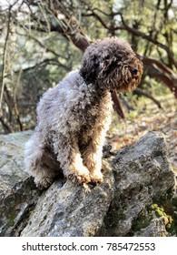 Close up of a Lagotto Romagnolo dog.