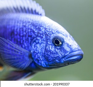 Close up of the Lake Malawi African cichlid called the electric blue hap (Sciaenochromis ahli) swimming in an aquarium