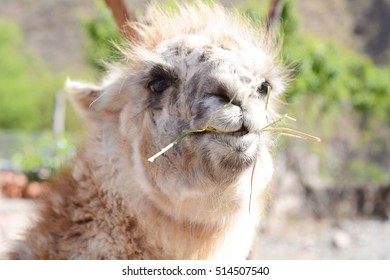Close up of a lama in Salta, Argentina.