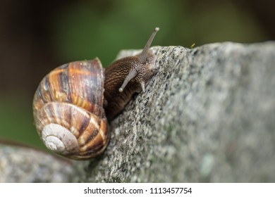 Close up land snail (Helix lucorum, Helix pomatia, Gastropoda, Pulmonata, Helicidae) terrestrial pulmonate gastropod mollusk with large beautiful brown spiral shell, crawling slowly on ground outdoor.
