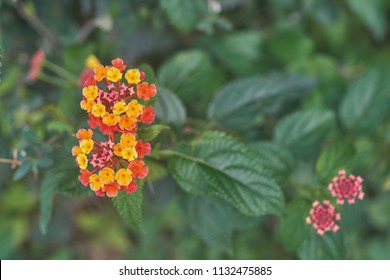 Close up of a Lantana Camara in the himalayan mountains also called butterfly flower and wild sage.