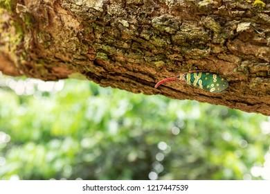 Close up of Lanternfly or Fulgorid bug of Planthopper setting on tree fruit