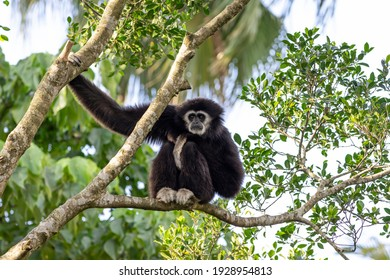 Close up of a Lar gibbon on the tree