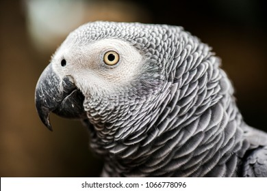 Close up of a large African Grey Parrot