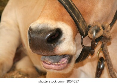 Close up of large bull talking
