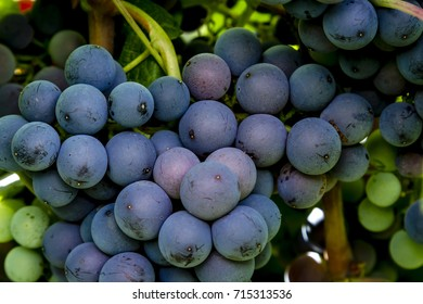 Close up of large bunch of red wine grapes ripening on vine in local vineyard