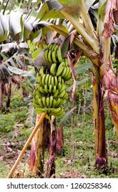 Close up of large bunch of still green banana in Bananeira, Rio de Cedros, Santa Catarina