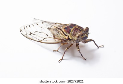 Close up of a large double drummer cicada on white background. Location: Queensland,Australia.