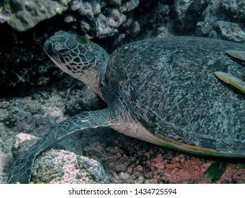 Close up of a large Green Sea Turtle (Chelonia mydas)