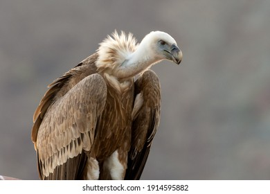 A close up of a large lappet-faced vulture or Nubian vulture (Torgos tracheliotos) perched.