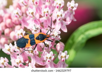 Close Up of a Large Milkweed Bug on the Pink Flowers of a Swamp Milkweed