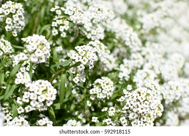 close up large patch of white alyssum flowers in bright sunlight