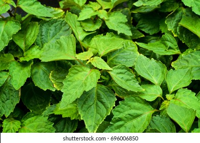 Close up of a large patchouli plant from above with various size leaves and soft shadows.  Pogostemon cablin.