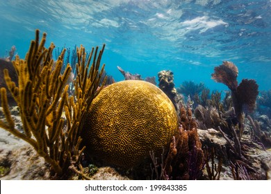 Close up of large round brain coral and branch coral on tropical coral reef in Caribbean Sea