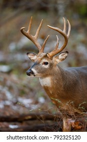 A close up of a large white-tailed deer buck in a woodland setting