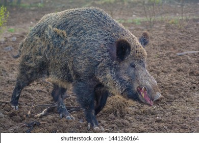 Close up of a large wild boar in wildlife.  Wild boar (sus scrofa ferus) walking in forest. Wildlife in natural habitat.