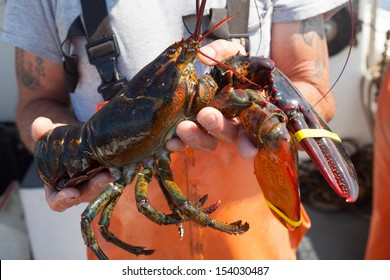 close up of large yellow banded lobster being held by caucasian male in orange overalls, Maine, USA