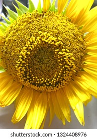 Close up of large yellow Sunflower showing details