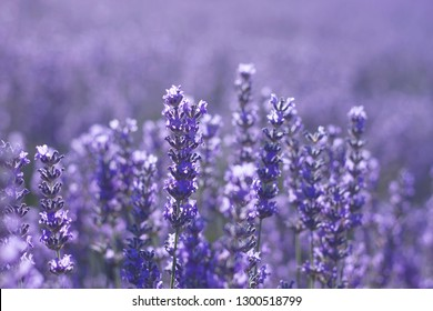 Close up of lavender blue flowers