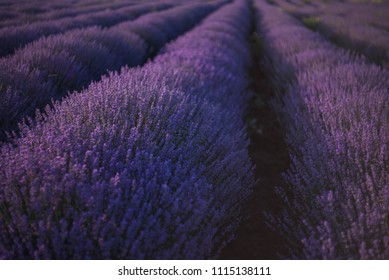 Close up of a lavender field