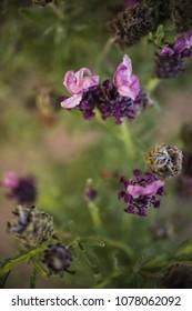 close up of lavender flower