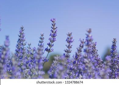 Close up of lavender flowers against blue sky
