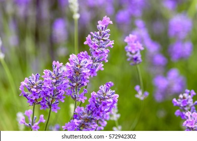 Close up of lavender flowers in bloom