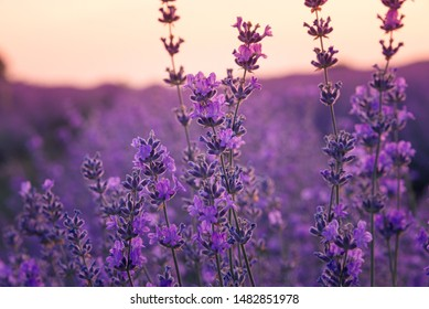 Close up of lavender flowers in a lavender field under the sunrise light