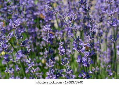 Close up lavender flowers on summer field and flying bees