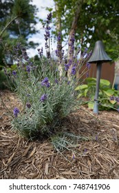 A close up of lavender in the garden.