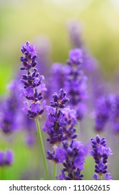 Close up of a lavender plant in bloom