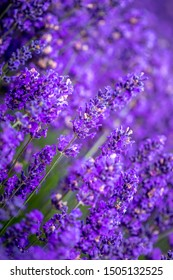Close up of lavender plant blooms ready for harvest