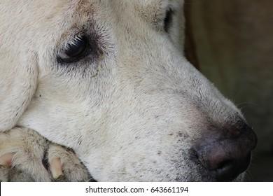 close up laying white dog
