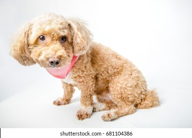 Close up lazy brown cute toy poodle puppy with scarf sitting on white background. poodle dog isolated.