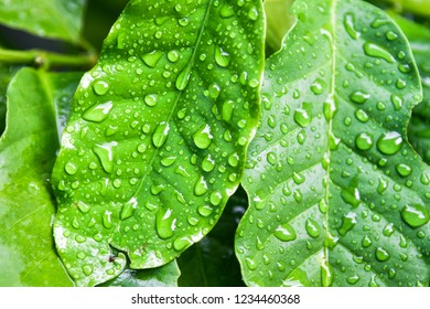 Close up of leaf coffee and drop water