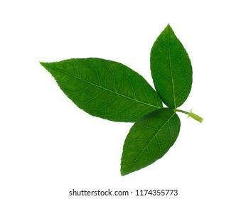 Close up leaf of damask rose on white background. (Rosa damascena Mill)