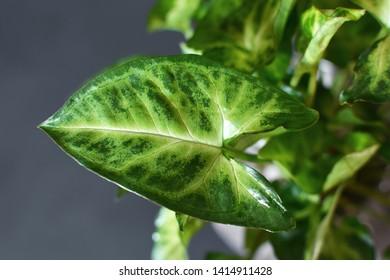 Close up of leaf of exotic Syngonium podophyllum 'Pixi' or 'Arrow' Arrowhead Vine house plant on dark blue background