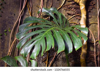 Close up of a leaf of a huge and mature Monstera Deliciosa Swiss Cheese Plant with roots climbin up wall