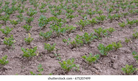 close up of leafs of celery growing in the field