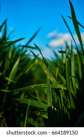 Close leafs of green grass with a blue sky in the background