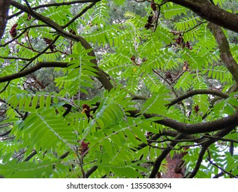 Close up of the leafy branches with reddish fruit of the female sumac tree in spring. Rhus typhina, the staghorn sumac. Poland, Europe