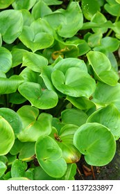 Close up of the leaves of Calla (bog arum, marsh calla, wild calla, and water-arum). Poland, Europe