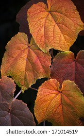 Close up of leaves of Crimson Glory Vine showing Autumn colours with shallow depth of field and isolated on black background  (Vitis coignetiae).